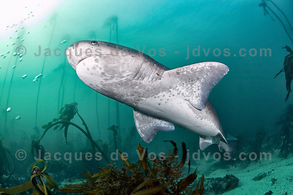 Diving With Dinosaurs...  The Sevengill Cow shark is a prehistoric shark.  Ikelite 50D Housing (8'' Dome Port) Ikelite DS-160 Strobes
