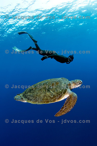 Shot taken while Freediving (on one breath)An adult Green Turtle can stay submerged for up to 5 hours...its heart rate slowing down to 1 beat per minute.Red Sea - Egypt (Dahab)Ikelite 7D Housing (8'' Dome Port)Ikelite DS-161 Strobes