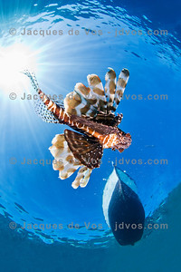 Glide...  A Lionfish passing underneath a fishing boat in Dahab Egypt.  Ikelite 50D Housing (8'' Dome Port) Ikelite DS-160 Strobes